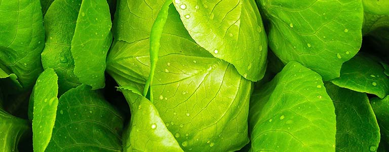 Closeup of a fresh head of lettuce
