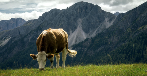 Grass-Fed Beef: A Sustainable Alternative?