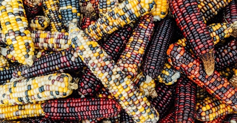 Corn: How Industrial Agriculture Ruined a Sacred Seed
